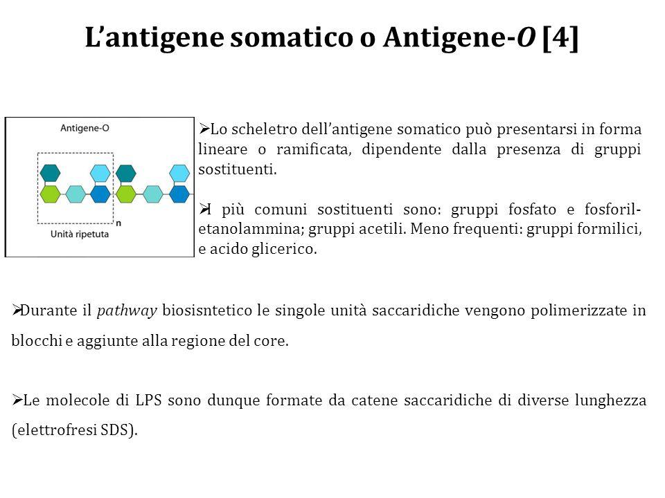 L'antigene somatico o Antigene-O [4]